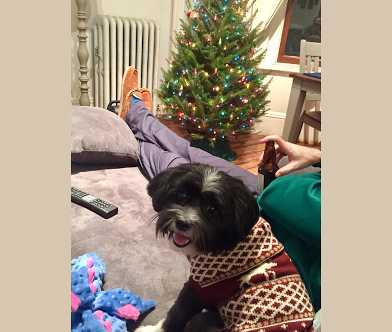 Photo of Owen, a Shih Tzu, Pomeranian, Poodle (Small), and Lhasa Apso mix in Massachusetts, USA