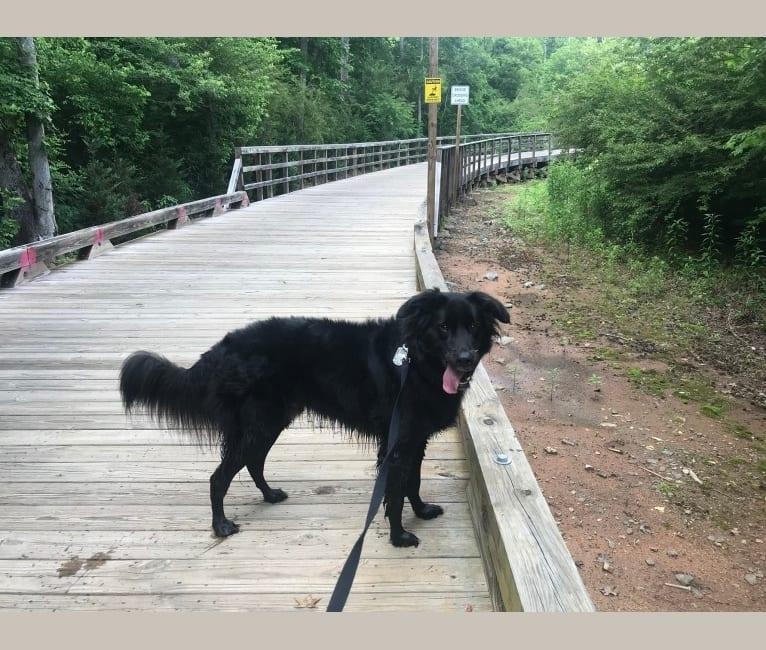 Photo of Ranger, a Labrador Retriever, Golden Retriever, Great Pyrenees, Border Collie, and Mixed mix in Athens, Georgia, USA