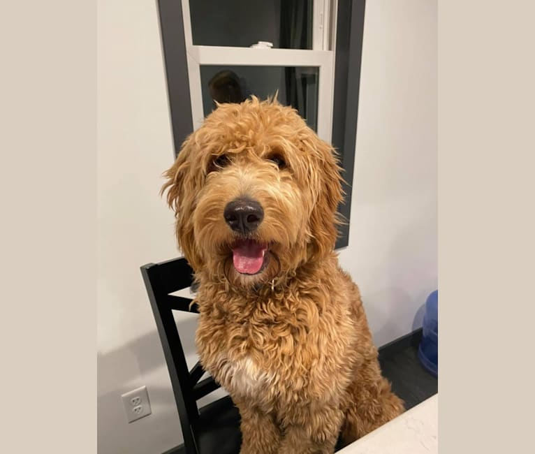 Photo of Bea, a Goldendoodle