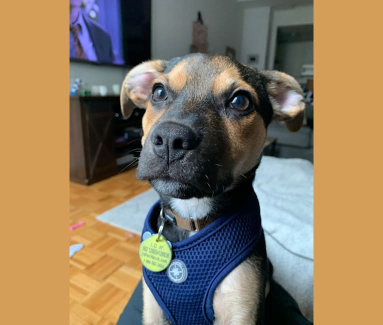 Photo of Riggins, a Chihuahua, Australian Cattle Dog, American Pit Bull Terrier, and Beagle mix in Kentucky, USA