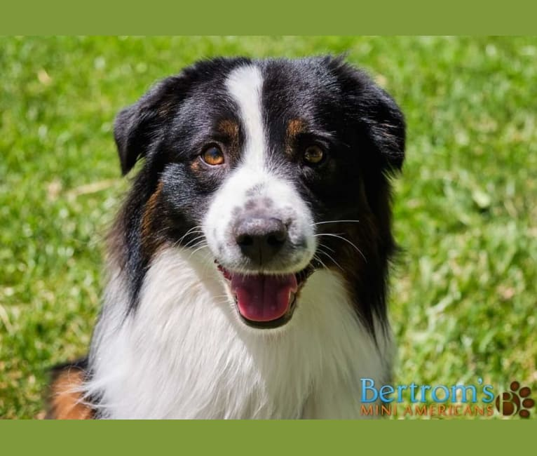 Photo of Zoom, an Australian Shepherd Group  in Saint George, UT, USA