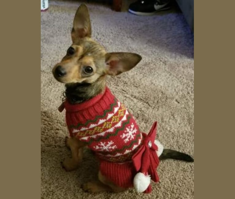 Photo of FOXY, a Chihuahua, Yorkshire Terrier, Miniature Pinscher, and Mixed mix in Los Angeles, California, USA