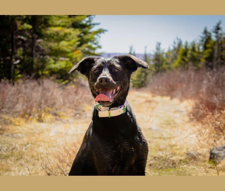 Photo of Cinder, a Newfoundland, Labrador Retriever, Chesapeake Bay Retriever, Collie, German Shepherd Dog, and Mixed mix in Marystown, Newfoundland and Labrador, Canada