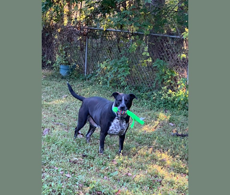 Photo of Tank, an American Pit Bull Terrier, Australian Cattle Dog, Border Collie, and Mixed mix in Texas, USA