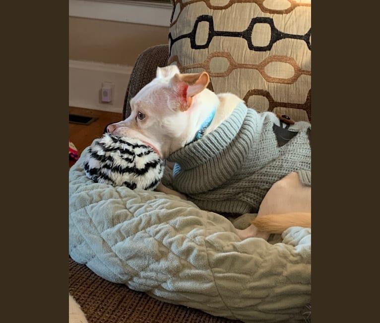 Photo of Jax, a Poodle (Small), Chihuahua, Bichon Frise, Maltese, and Shih Tzu mix in Gig Harbor, Washington, USA