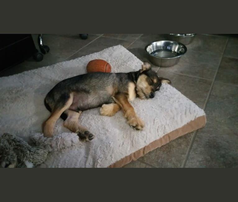 Photo of Cooper, a Miniature Schnauzer, German Shepherd Dog, Cocker Spaniel, Golden Retriever, Australian Cattle Dog, and Mixed mix