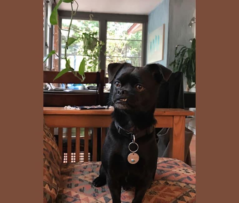 Photo of Pepino, a Japanese Chin, Chihuahua, and Shih Tzu mix in Dallas, Texas, USA