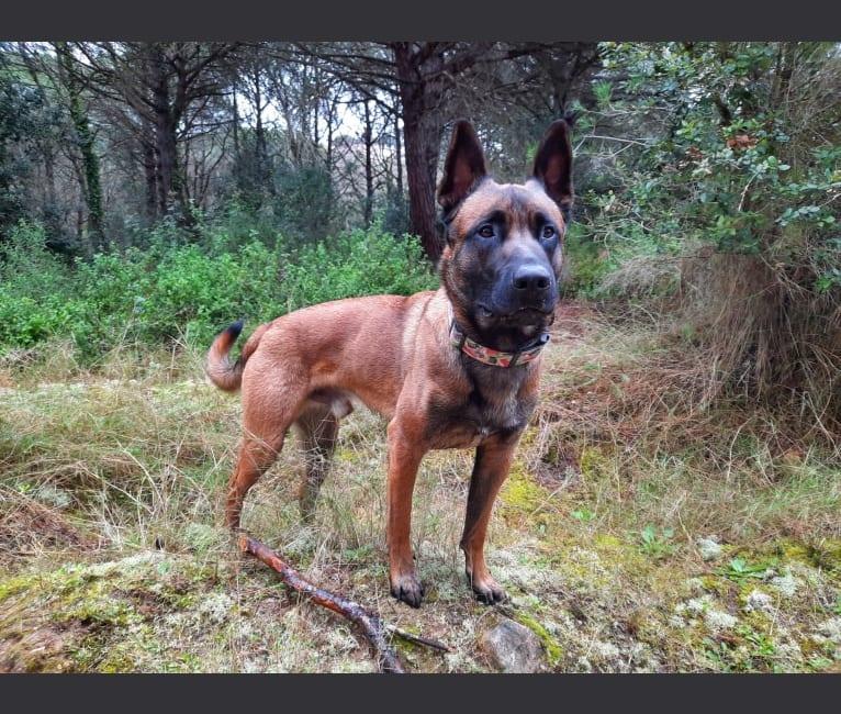 Photo of Kylar (PsychoKiller d'Hélitesport), a Belgian Shepherd  in Cànoves, Espanya
