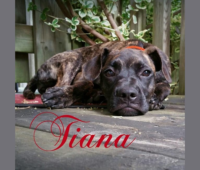Photo of Tiana, a French Bulldog and East Asian Village Dog mix in Taipei, Taiwan