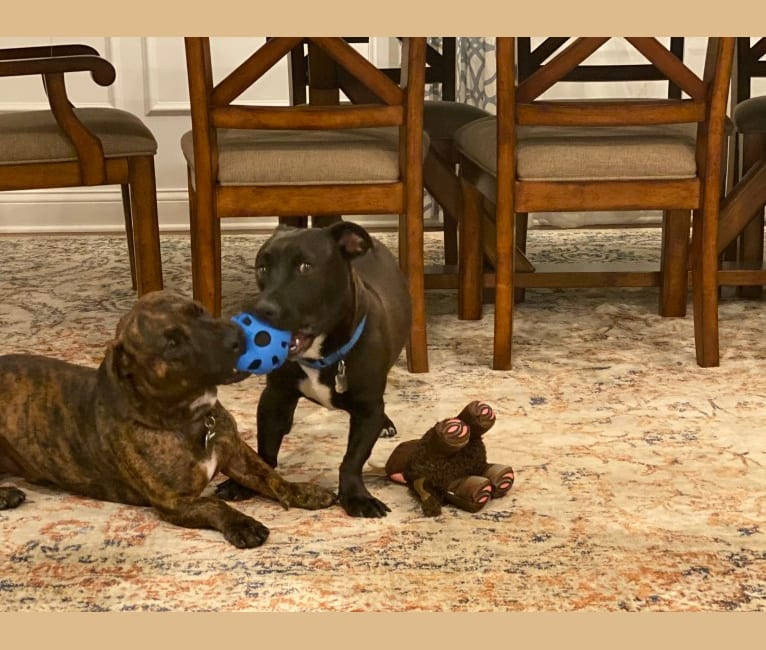 Photo of Peter, a Dachshund, American Pit Bull Terrier, and Boxer mix in Oklahoma City, Oklahoma, USA
