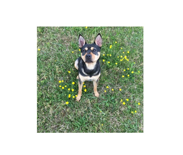 Photo of Harper, an Australian Cattle Dog, Chinese Shar-Pei, American Pit Bull Terrier, and Mixed mix in Kingsport, Tennessee, USA