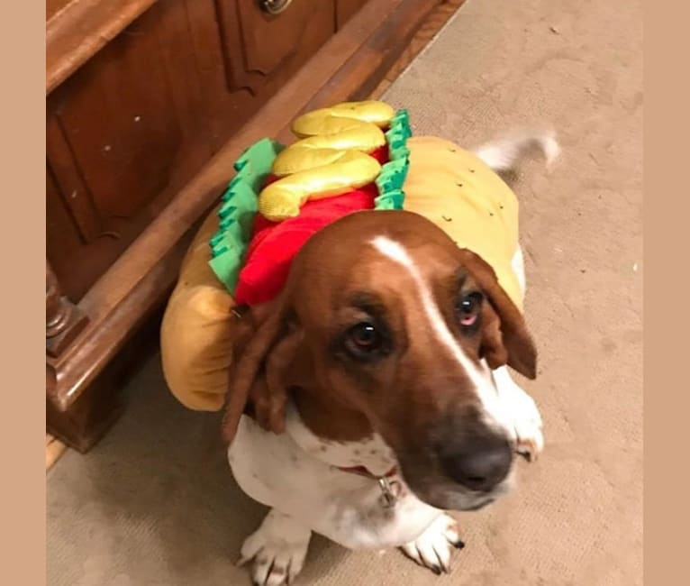 Photo of Leia, a Basset Hound  in San Diego, California, USA