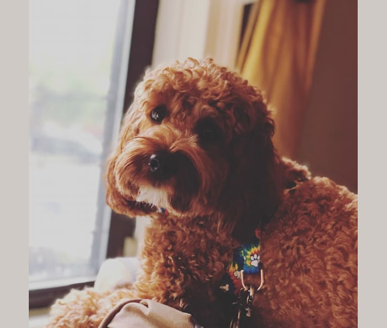 Photo of Beasley, a Cockapoo  in New York, USA