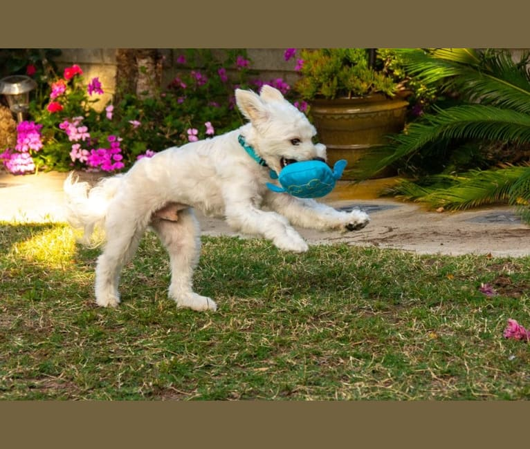 Photo of Finnegan, a Poodle (Small), Pekingese, and Mixed mix in California, USA