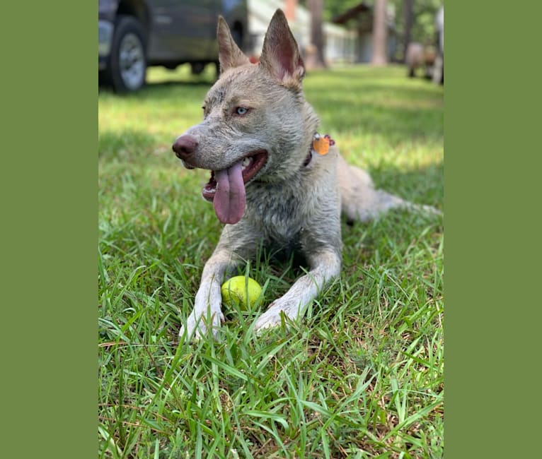 Photo of Jax, a Siberian Husky and American Pit Bull Terrier mix in Jackson, South Carolina, USA