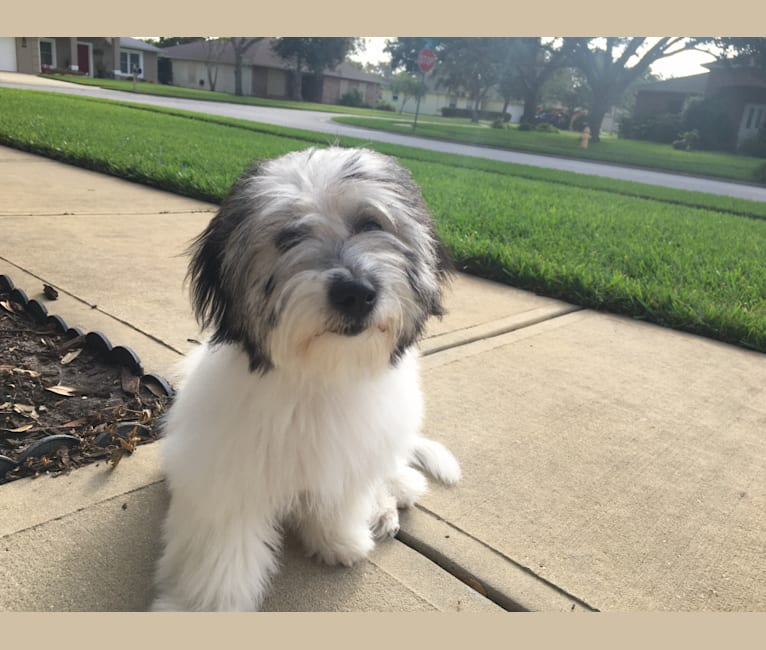 Photo of Shelby, a Coton de Tulear