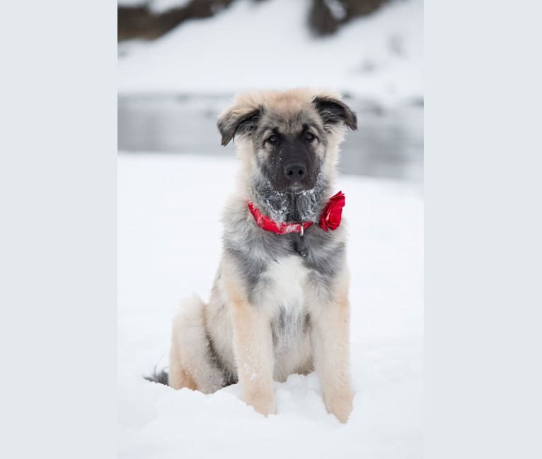 Photo of Sasha, a Great Pyrenees, Labrador Retriever, Border Collie, Bernese Mountain Dog, and Chow Chow mix in Calgary, Alberta, Canada