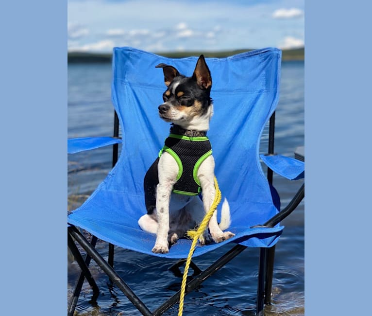 Photo of Trigger, a Chihuahua, Poodle (Small), and Pomeranian mix in Prince George, British Columbia, Canada
