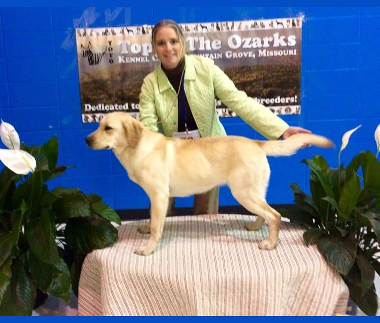 Photo of Benelli, a Labrador Retriever  in Centralia, IL, USA