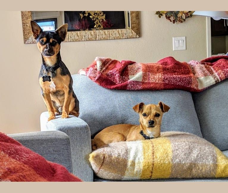 Photo of Chuck, a Chihuahua, Pomeranian, and German Shepherd Dog mix in Los Banos, California, USA