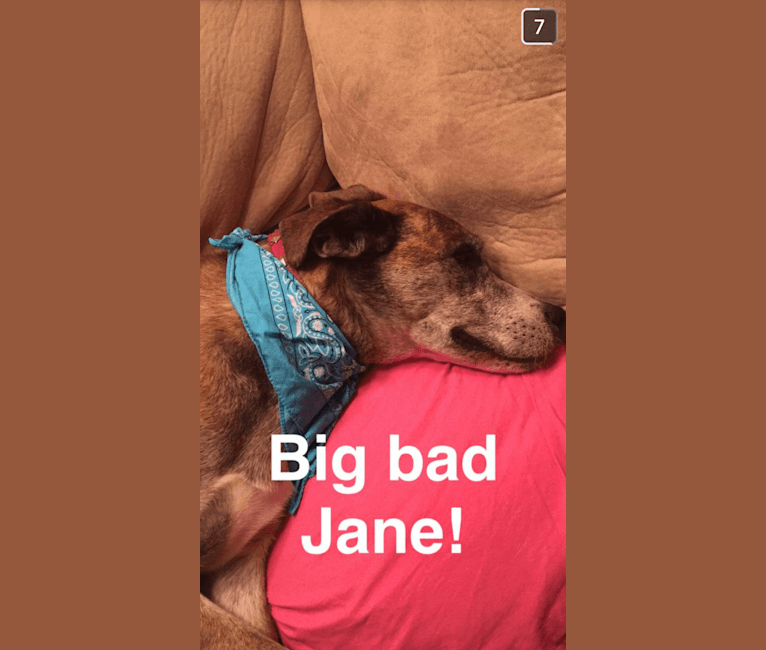 Photo of Jane, an American Pit Bull Terrier, Samoyed, and Alaskan Malamute mix