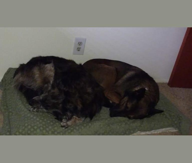 Photo of Sadie Fiona, an American Pit Bull Terrier, Belgian Malinois, German Shepherd Dog, and Kishu Ken mix in South Korea