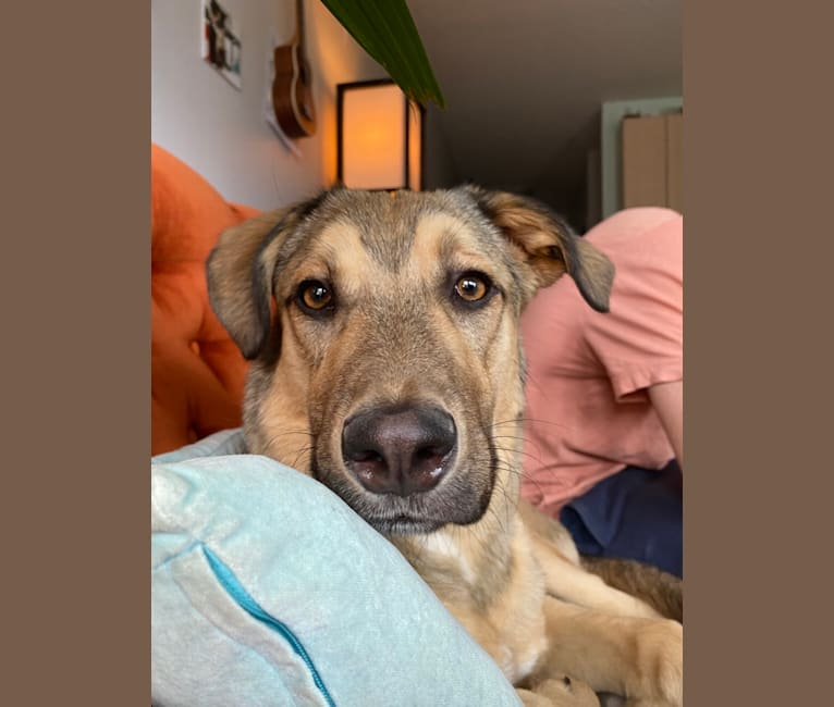 Photo of Sunshine, a Saint Bernard, American Pit Bull Terrier, Rottweiler, German Shepherd Dog, and Akita mix in Saskatchewan, Canada