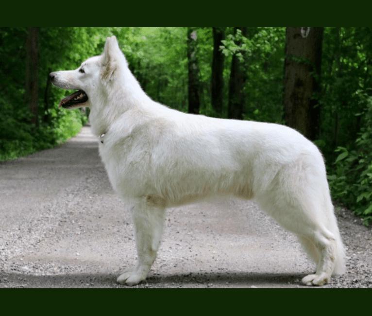 Photo of Bjorn, a White Shepherd
