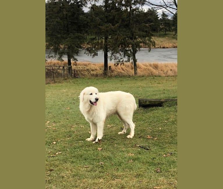 Photo of Remnar, a Maremma Sheepdog  in Waupaca, Wisconsin, USA