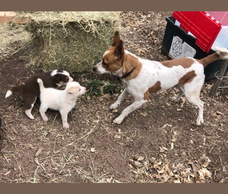 Photo of Kiva, a Border Collie, Australian Cattle Dog, and Australian Shepherd mix in Marfa, Texas, USA