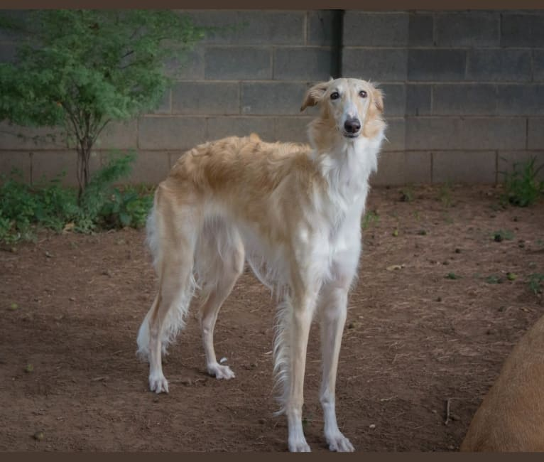 Photo of Evie, a Borzoi