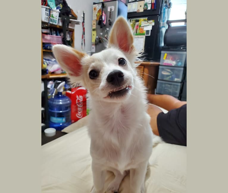 Photo of Bailey, a Chihuahua, Miniature Schnauzer, Maltese, and Mixed mix in Oahu, Hawaii, USA