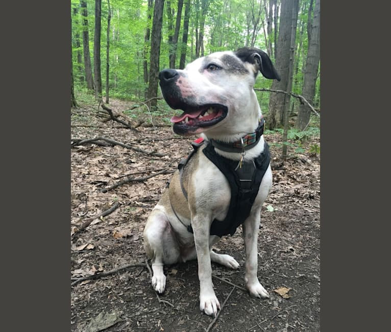 Photo of Artemis, a Staffordshire Terrier and Great Pyrenees mix in Alabama, USA