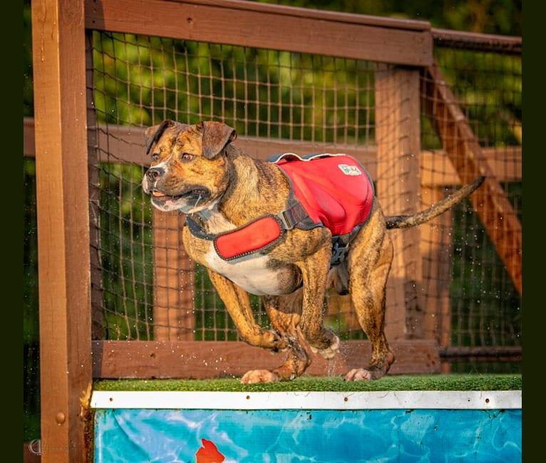 Photo of Trip, an American Bulldog