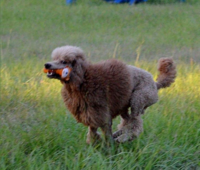 Photo of Rio, a Poodle