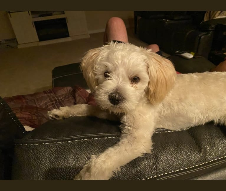 Photo of Cody, a Poodle (Small), American Pit Bull Terrier, Miniature Pinscher, Shih Tzu, Pomeranian, and Mixed mix in Phoenix, Arizona, USA