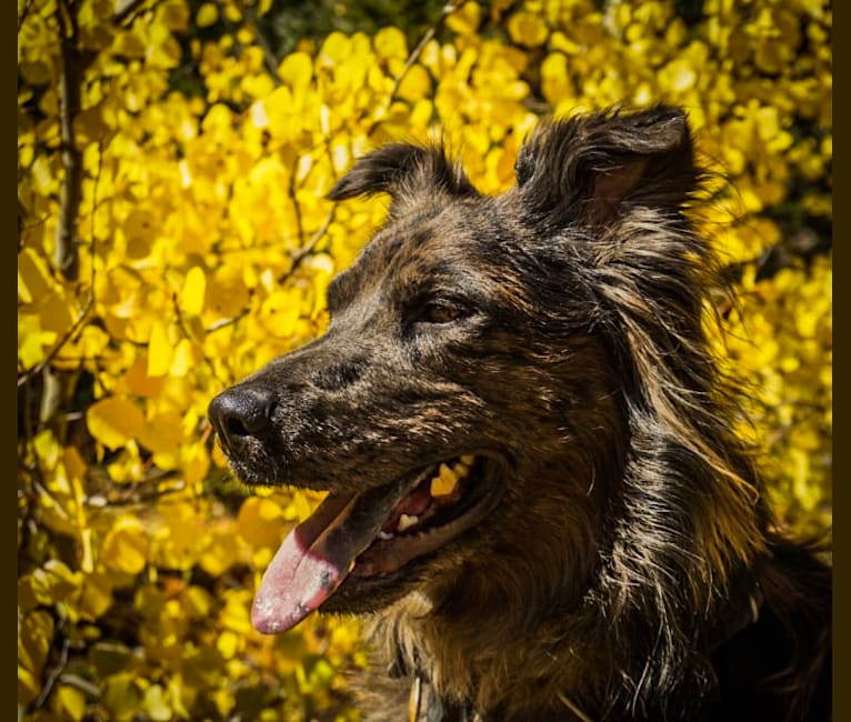 Photo of Ollie, an American Pit Bull Terrier, German Shepherd Dog, Australian Cattle Dog, Labrador Retriever, and Mixed mix in Texas, USA