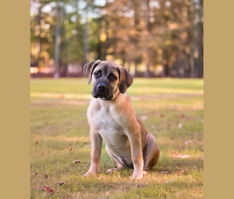 Photo of ABIAH, a Boerboel  in Fayetteville, NC, USA