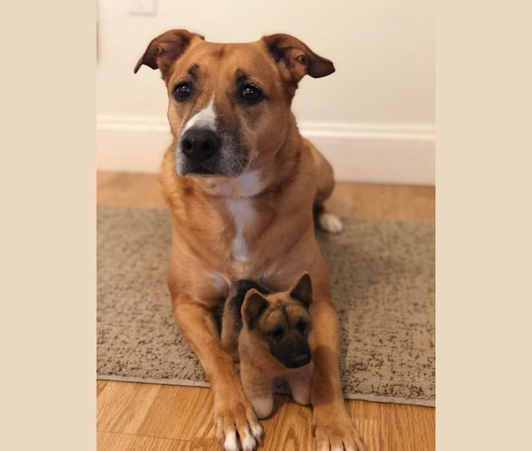 Photo of Rustee, an American Pit Bull Terrier, American Bulldog, and German Shepherd Dog mix in New York, USA