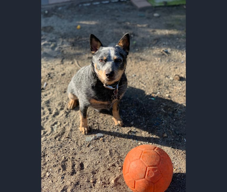 Photo of Pee Wee, an Australian Cattle Dog  in Cody, Wyoming, USA