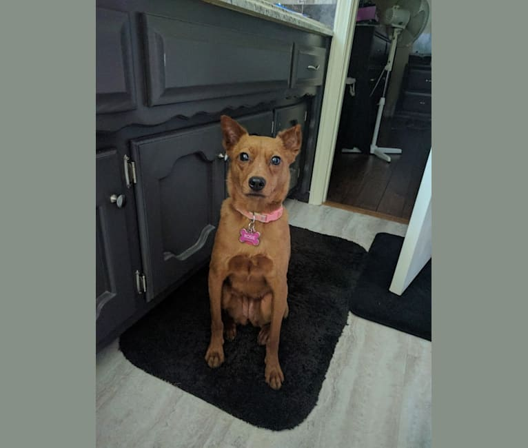 Photo of Rosie, a Rat Terrier and Chinese Shar-Pei mix in Smithville, Missouri, USA