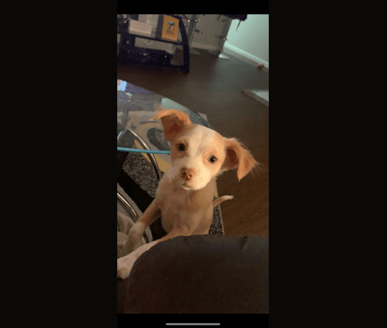 Photo of Cujo, a Chihuahua, American Pit Bull Terrier, Boston Terrier, Dachshund, and Mixed mix in Deer Park, Texas, USA