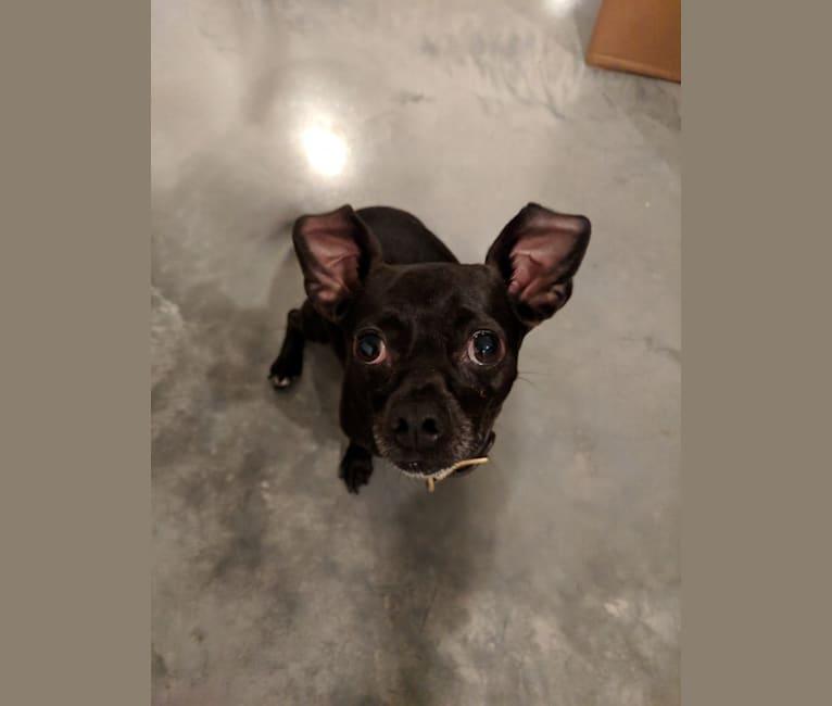"Photo of Stellaluna ""Stella"", a Chihuahua  in Austin, Texas, USA"