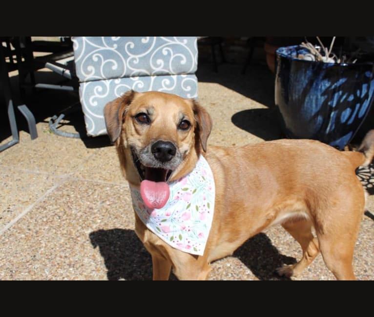 Photo of Daisy, a Labrador Retriever, Rottweiler, and Mixed mix in Texas, USA