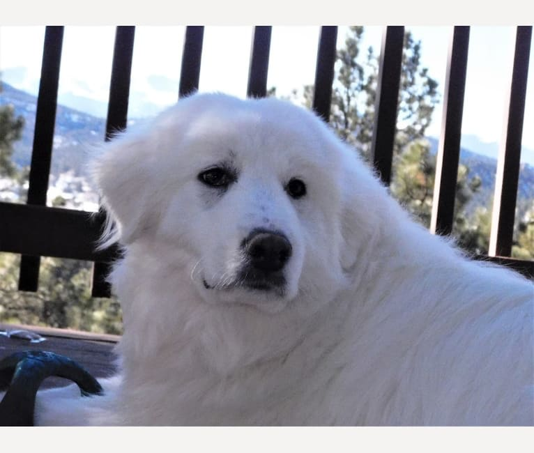 Photo of Bonnie, a Great Pyrenees and Maremma Sheepdog mix in Fort Collins, CO, USA