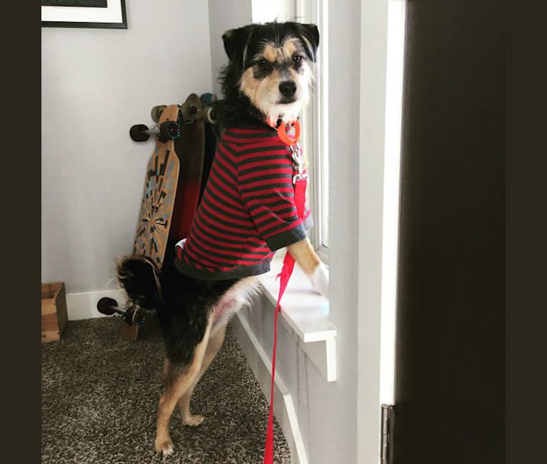 Photo of Nash, a Shih Tzu, Miniature Schnauzer, German Shepherd Dog, Poodle (Small), and Chinese Shar-Pei mix in Austin, Texas, USA