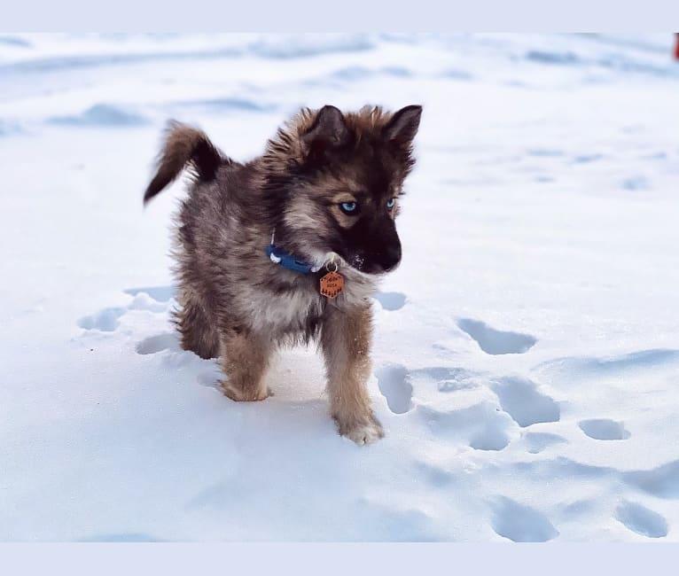 Photo of Kaia, a Siberian Husky  in Menasha, WI, USA