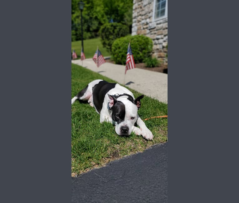 Photo of Tonka, an American Pit Bull Terrier and American Staffordshire Terrier mix