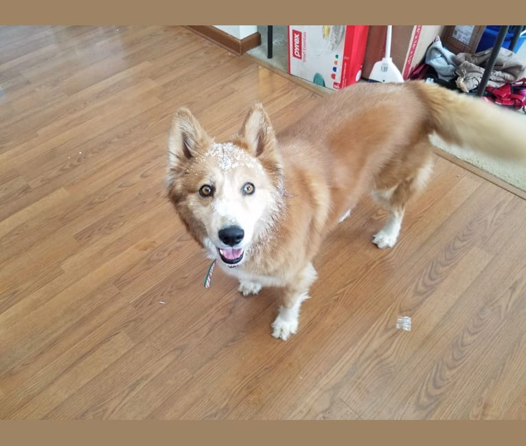 Photo of Misty, a Siberian Husky, Chow Chow, and English Shepherd mix in Indiana, USA