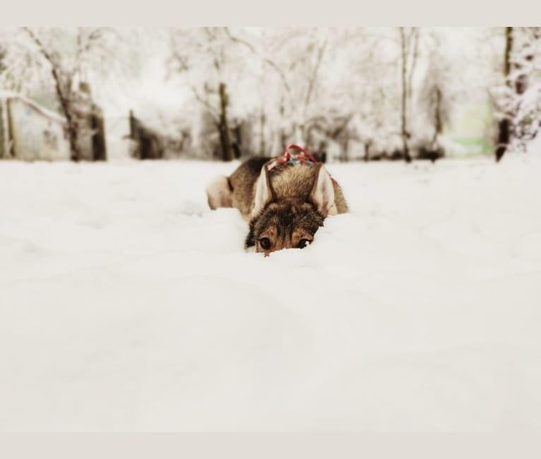 Photo of Eevie, a Siberian Husky, Alaskan-type Husky, German Shepherd Dog, Czechoslovakian Vlcak, Saarloos Wolfdog, and Alaskan Malamute mix in Raciborowice, Polska